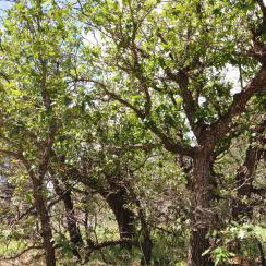 Gambel Oak
