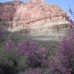 Red buds in Grand Canyon National Park, Arizona.
