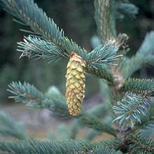220px-Picea_engelmannii_UGA1