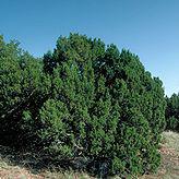 One-seed juniper