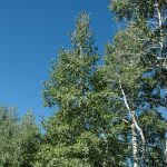 Mixed-Trees-Aspen-e1468970149681-150x150