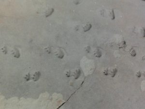 Chelchinus footprints
