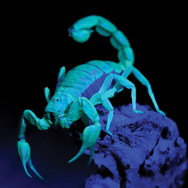 Scorpion, paruroctonus spp. glowing in the dark from a U.V. ligh