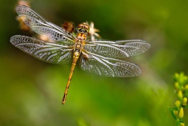 SSSdragonflies
